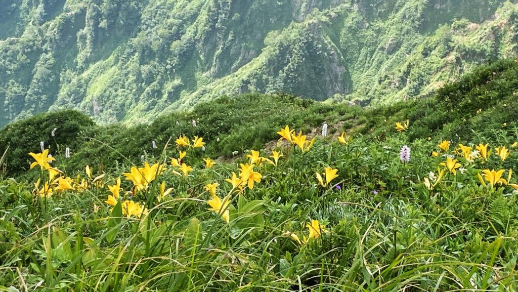 別山〜南竜 ニッコウキスゲのお花畑